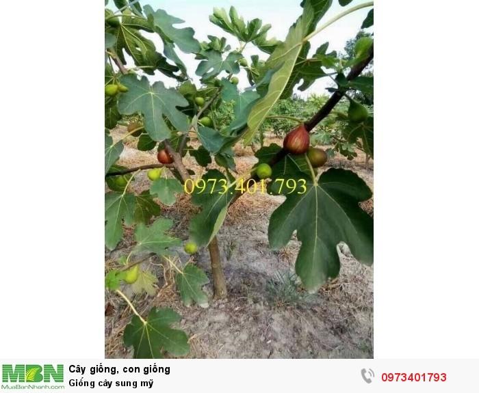 Giống cây sung mỹ4
