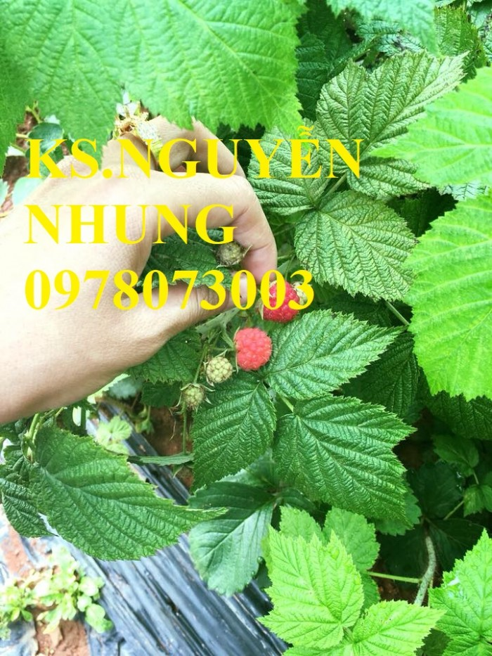 Địa điểm bán cây mâm xôi chuẩn giống, cam kết chất lượng cây giống đến khi ra quả, giá cả hợp lý1