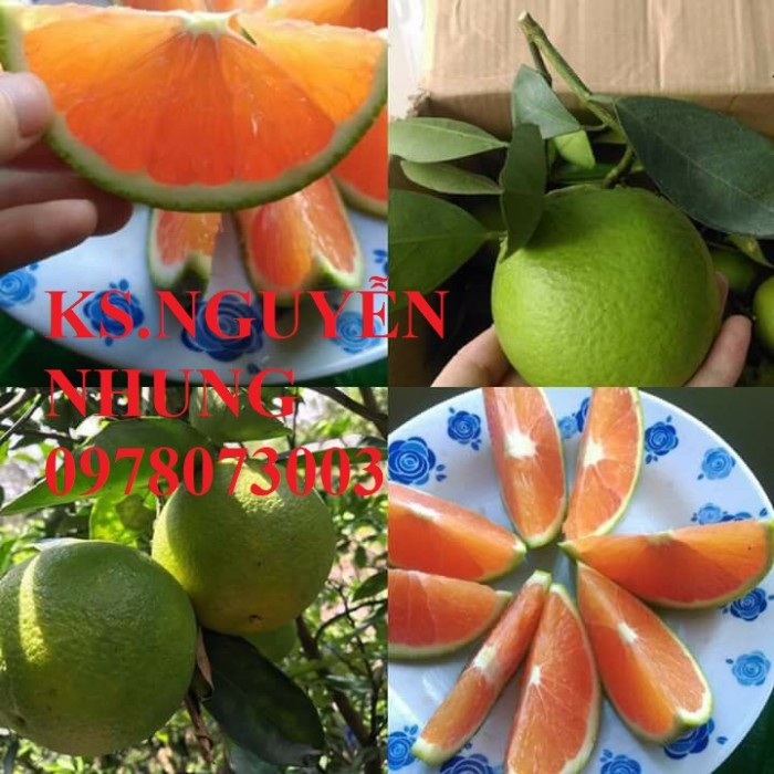 Bán giống cây cam cara ruột đỏ chuẩn giống, năng suất cao, giá cả hợp lý3