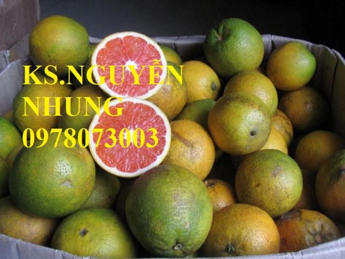 Bán giống cây cam cara ruột đỏ chuẩn giống, năng suất cao, giá cả hợp lý2