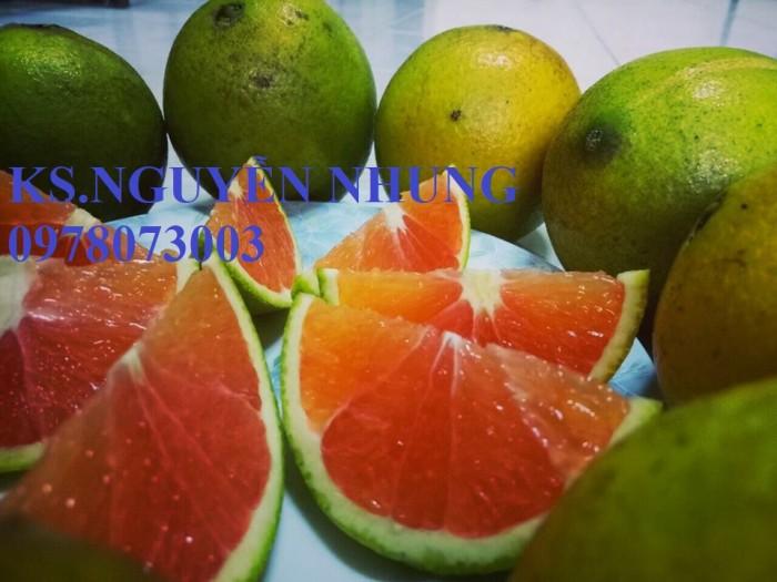 Bán giống cây cam cara ruột đỏ chuẩn giống, năng suất cao, giá cả hợp lý1
