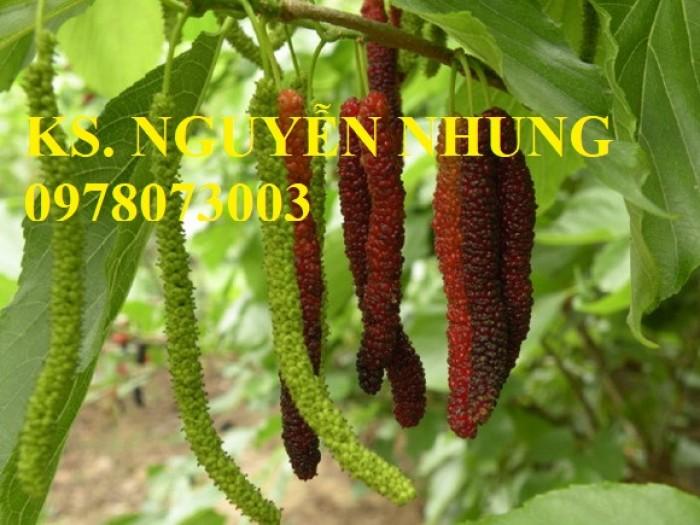 Mua cây dâu quả dài đài loan chuẩn giống, năng suất cao, giá cả hợp lý5