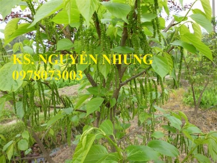 Mua cây dâu quả dài đài loan chuẩn giống, năng suất cao, giá cả hợp lý1