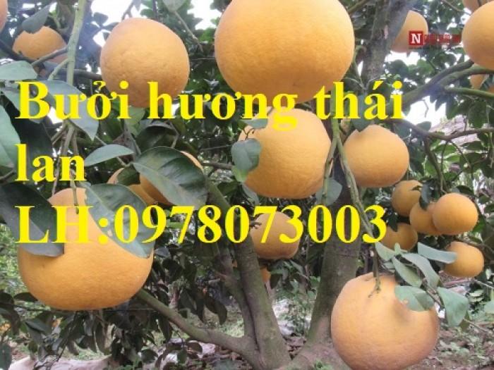 Cung cấp giống cây bưởi hương thái lan chuẩn giống F1, hướng dẫn kỹ thuật trồng, giao cây toàn quốc0