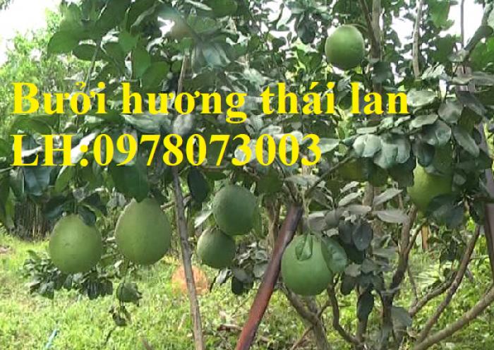 Cung cấp giống cây bưởi hương thái lan chuẩn giống F1, hướng dẫn kỹ thuật trồng, giao cây toàn quốc1