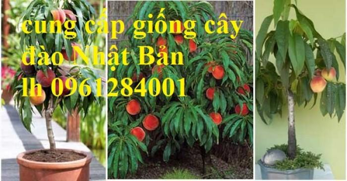 Cung cấp giống cây đào tiên chịu nhiệt Nhật Bản, đào ăn quả, đào Nhật Bản, uy tín, chất lượng6