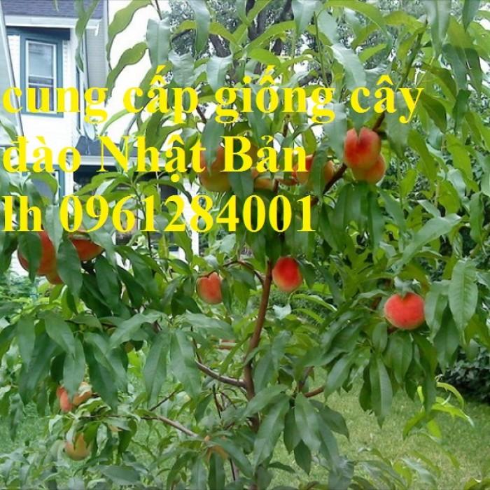Cung cấp giống cây đào tiên chịu nhiệt Nhật Bản, đào ăn quả, đào Nhật Bản, uy tín, chất lượng2