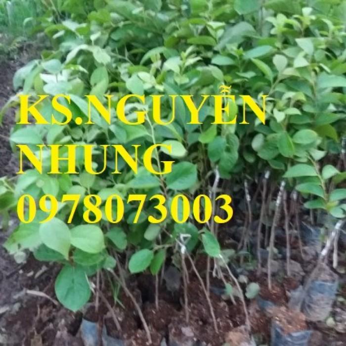 Cung cấp giống cây hồng không hạt chuẩn giống, hướng dẫn kỹ thuật trồng, giao cây toàn quốc1