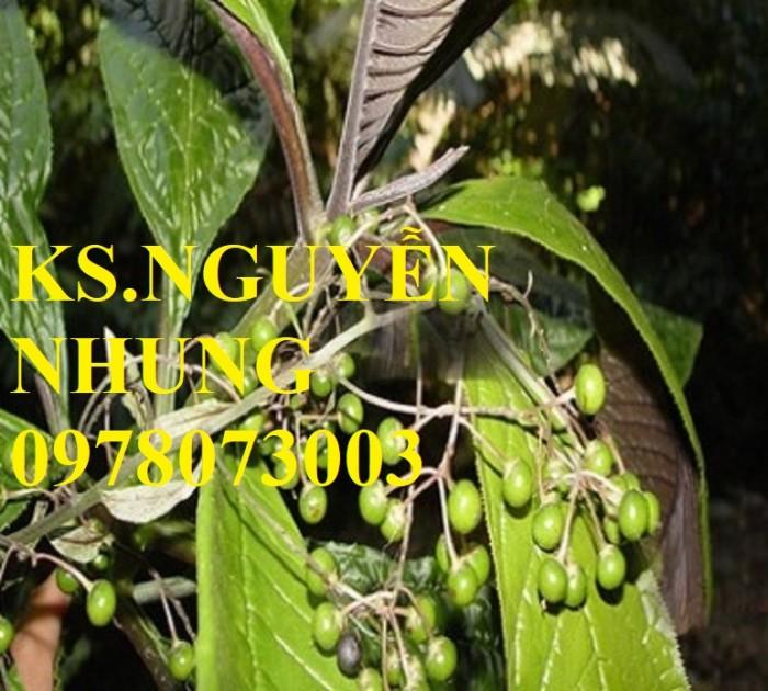 Cung cấp giống cây khôi nhung tía, cây cơm nguội chuẩn giống, năng suất cao1
