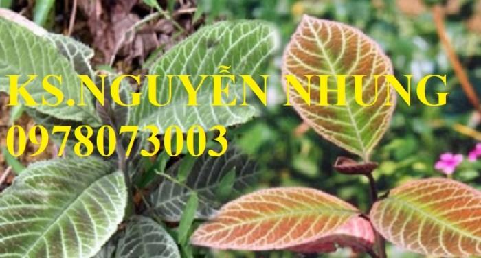 Cung cấp giống cây khôi nhung tía, cây cơm nguội chuẩn giống, năng suất cao3