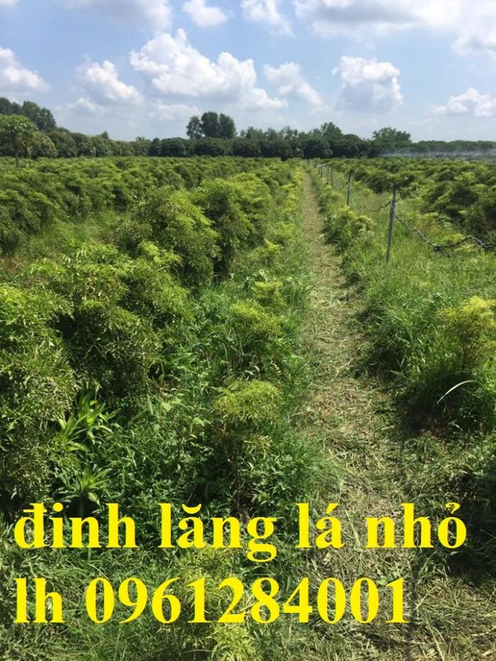 Cung cấp giống cây đinh lăng, đinh lăng lá nếp, đinh lăng lá nhỏ, số lượng lớn, giao hàng toàn quốc4