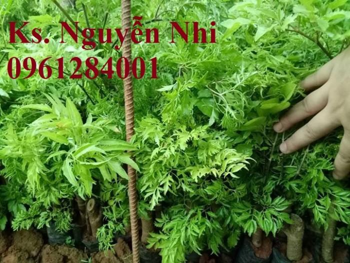 Cung cấp giống cây đinh lăng, đinh lăng lá nếp, đinh lăng lá nhỏ, số lượng lớn, giao hàng toàn quốc15
