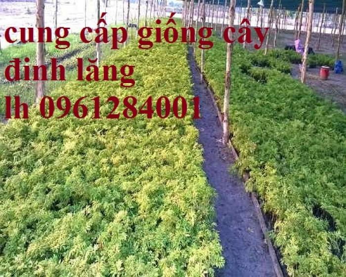 Cung cấp giống cây đinh lăng, đinh lăng lá nếp, đinh lăng lá nhỏ, số lượng lớn, giao hàng toàn quốc9