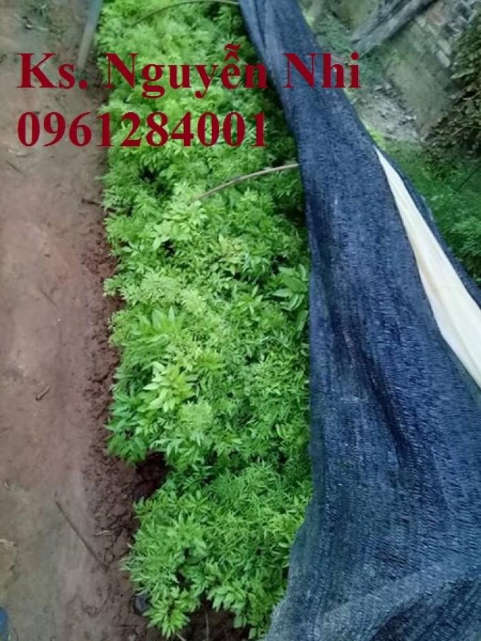 Cung cấp giống cây đinh lăng, đinh lăng lá nếp, đinh lăng lá nhỏ, số lượng lớn, giao hàng toàn quốc2