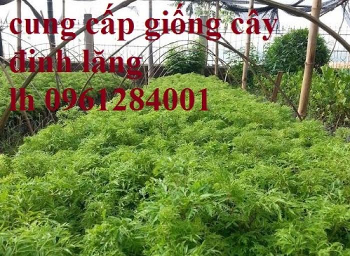 Cung cấp giống cây đinh lăng, đinh lăng lá nếp, đinh lăng lá nhỏ, số lượng lớn, giao hàng toàn quốc7