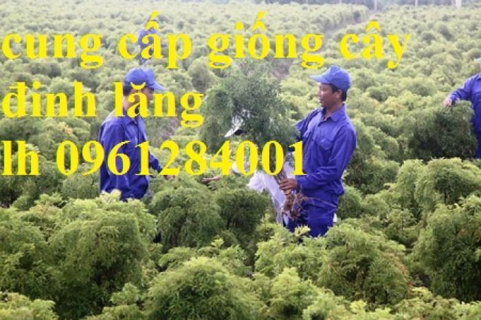 Cung cấp giống cây đinh lăng, đinh lăng lá nếp, đinh lăng lá nhỏ, số lượng lớn, giao hàng toàn quốc10