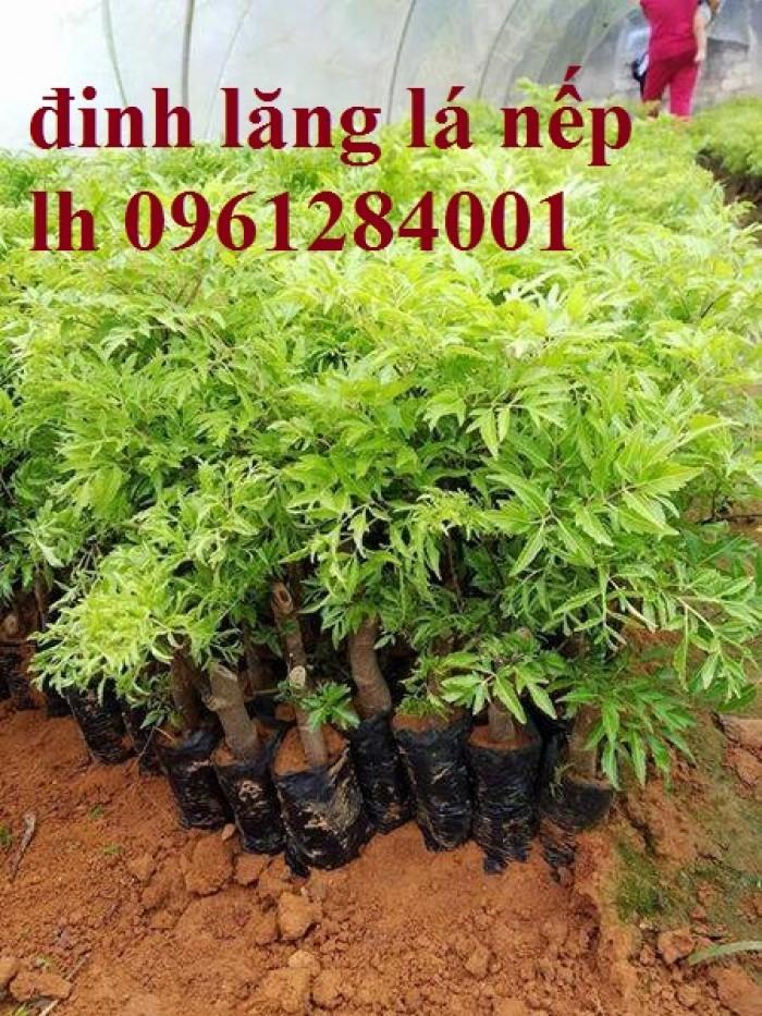 Cung cấp giống cây đinh lăng, đinh lăng lá nếp, đinh lăng lá nhỏ, số lượng lớn, giao hàng toàn quốc1