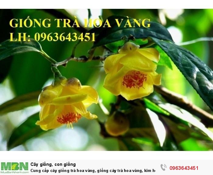 Cung cấp cây giống trà hoa vàng, giống cây trà hoa vàng, kim hoa trà, số lượng lớn, chất lượng cao0