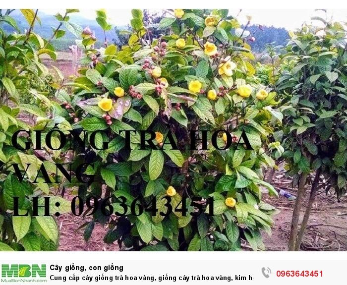 Cung cấp cây giống trà hoa vàng, giống cây trà hoa vàng, kim hoa trà, số lượng lớn, chất lượng cao4