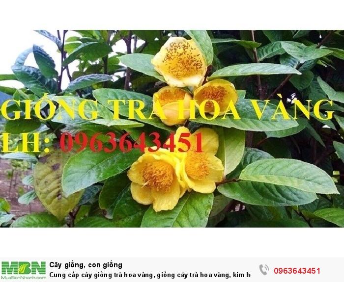 Cung cấp cây giống trà hoa vàng, giống cây trà hoa vàng, kim hoa trà, số lượng lớn, chất lượng cao5