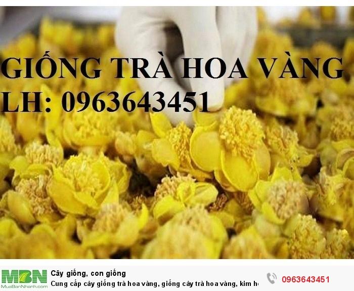 Cung cấp cây giống trà hoa vàng, giống cây trà hoa vàng, kim hoa trà, số lượng lớn, chất lượng cao6