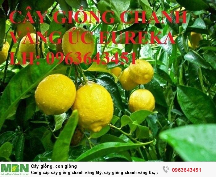 Cung cấp cây giống chanh vàng Mỹ, cây giống chanh vàng Úc, cây giống chanh vàng Eureka nhập khẩu0