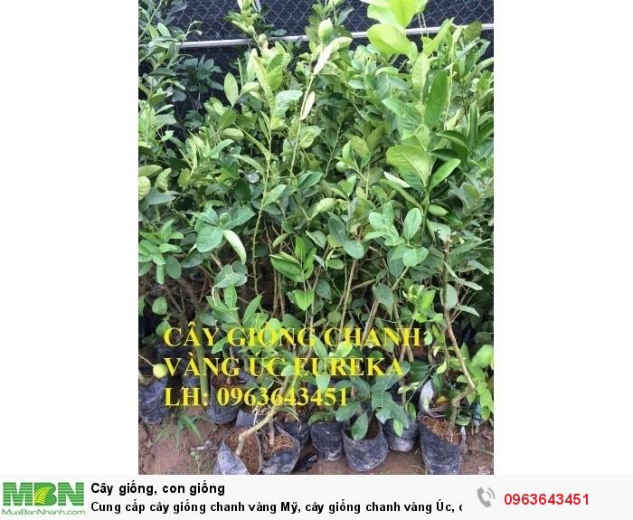 Cung cấp cây giống chanh vàng Mỹ, cây giống chanh vàng Úc, cây giống chanh vàng Eureka nhập khẩu2