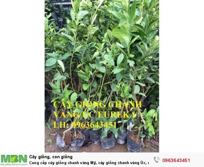 Cung cấp cây giống chanh vàng Mỹ, cây giống chanh vàng Úc, cây giống chanh vàng Eureka nhập khẩu3
