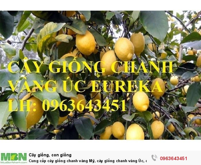 Cung cấp cây giống chanh vàng Mỹ, cây giống chanh vàng Úc, cây giống chanh vàng Eureka nhập khẩu5