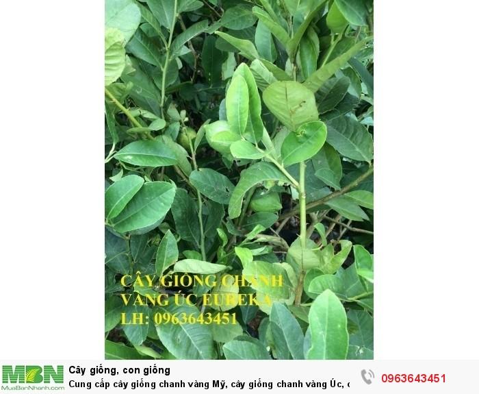 Cung cấp cây giống chanh vàng Mỹ, cây giống chanh vàng Úc, cây giống chanh vàng Eureka nhập khẩu7