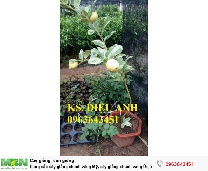 Cung cấp cây giống chanh vàng Mỹ, cây giống chanh vàng Úc, cây giống chanh vàng Eureka nhập khẩu10