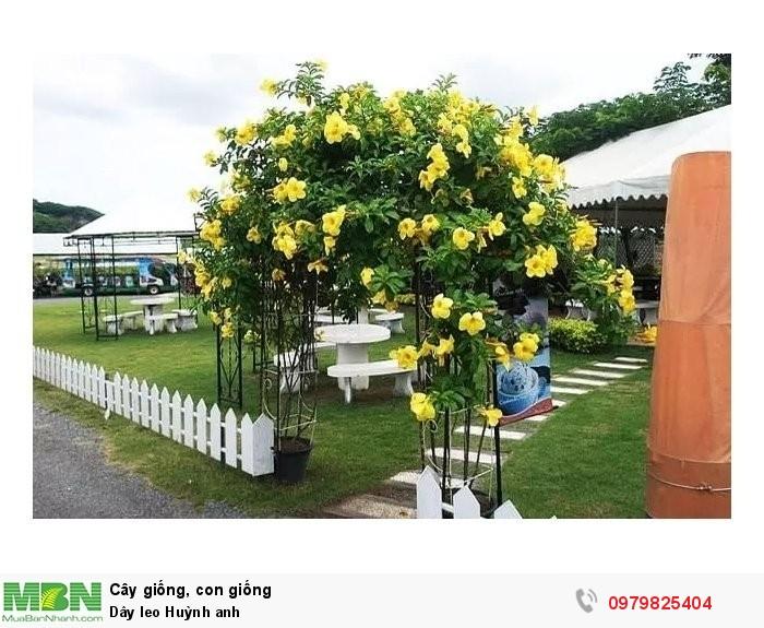 Dây leo Huỳnh anh - Diễn đàn cây dây leo chống nắng