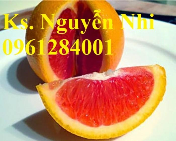 Cây cam cara ruột đỏ không hạt - viencaygiongtrunguong, cây giống chất lượng cao11