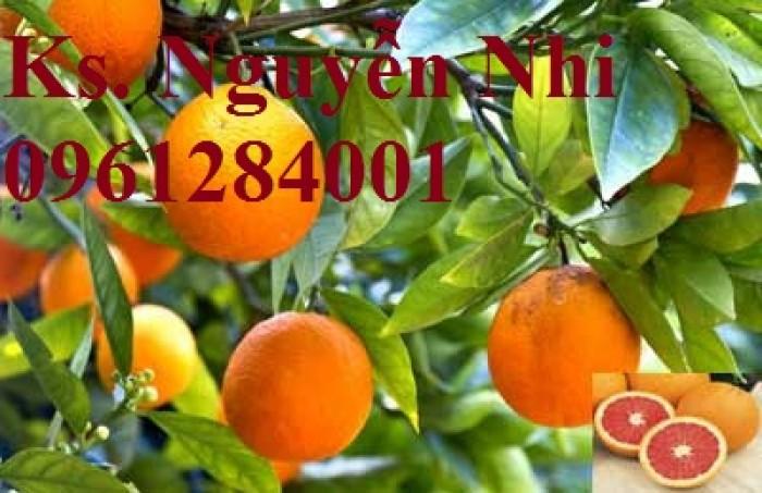 Cây cam cara ruột đỏ không hạt - viencaygiongtrunguong, cây giống chất lượng cao10
