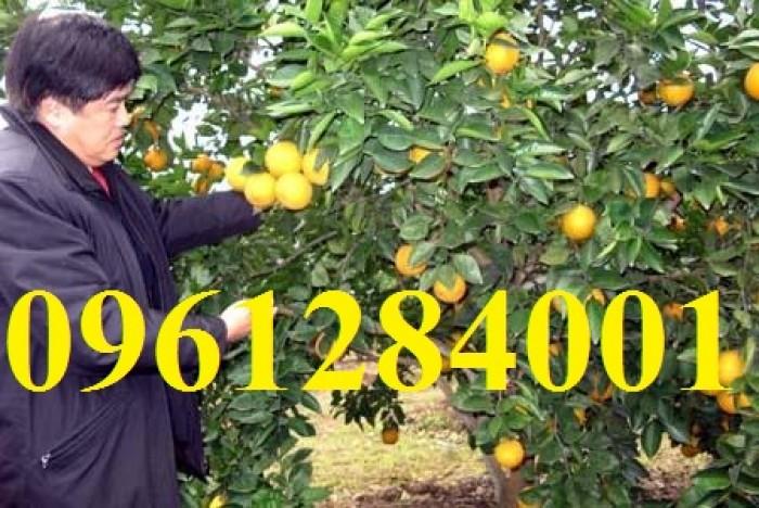 Cây cam cara ruột đỏ không hạt - viencaygiongtrunguong, cây giống chất lượng cao9