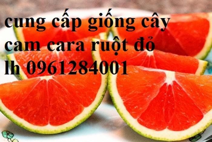 Cây cam cara ruột đỏ không hạt - viencaygiongtrunguong, cây giống chất lượng cao12