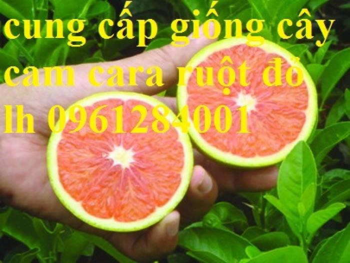 Cây cam cara ruột đỏ không hạt - viencaygiongtrunguong, cây giống chất lượng cao7