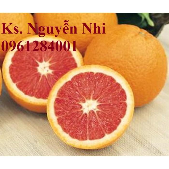 Cây cam cara ruột đỏ không hạt - viencaygiongtrunguong, cây giống chất lượng cao3