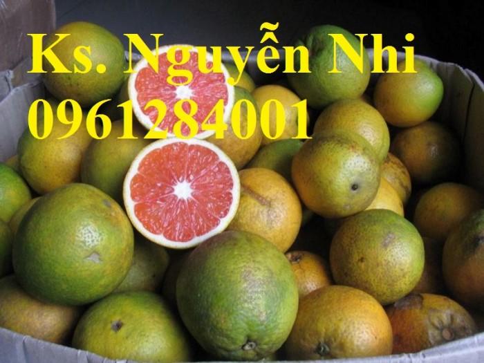 Cây cam cara ruột đỏ không hạt - viencaygiongtrunguong, cây giống chất lượng cao5