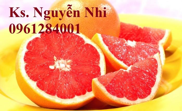 Cây cam cara ruột đỏ không hạt - viencaygiongtrunguong, cây giống chất lượng cao13