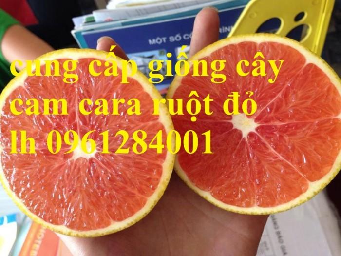 Cây cam cara ruột đỏ không hạt - viencaygiongtrunguong, cây giống chất lượng cao1