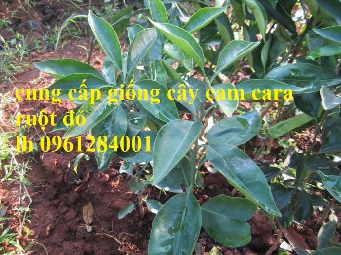 Cây cam cara ruột đỏ không hạt - viencaygiongtrunguong, cây giống chất lượng cao0