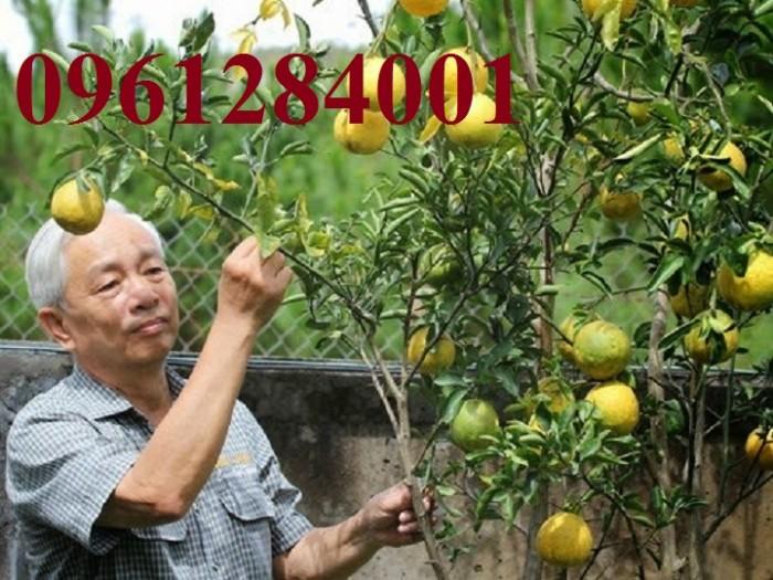 Cây cam cara ruột đỏ không hạt - viencaygiongtrunguong, cây giống chất lượng cao6