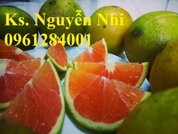 Cây cam cara ruột đỏ không hạt - viencaygiongtrunguong, cây giống chất lượng cao4