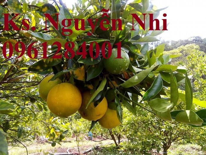 Cây cam cara ruột đỏ không hạt - viencaygiongtrunguong, cây giống chất lượng cao2