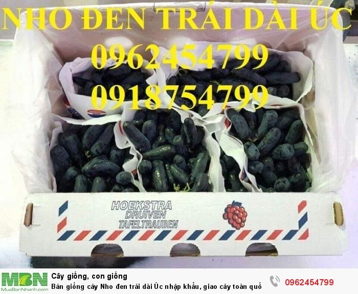 Bán giống cây Nho đen trái dài Úc nhập khẩu, giao cây toàn quốc2