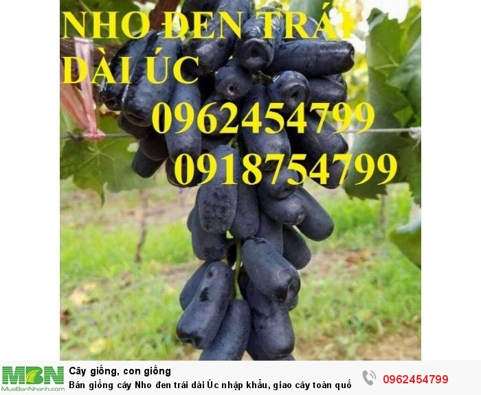 Bán giống cây Nho đen trái dài Úc nhập khẩu, giao cây toàn quốc9