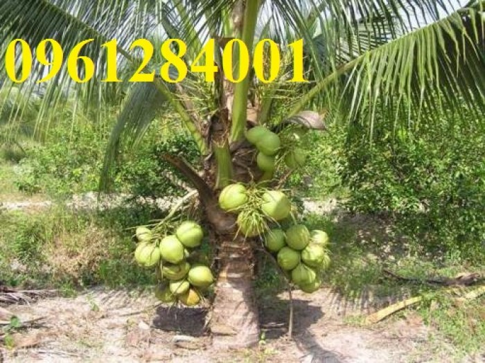 Cung cấp giống cây dừa xiêm lùn, dừa xiêm xanh lùn, số lượng lớn, giao hàng toàn quốc5