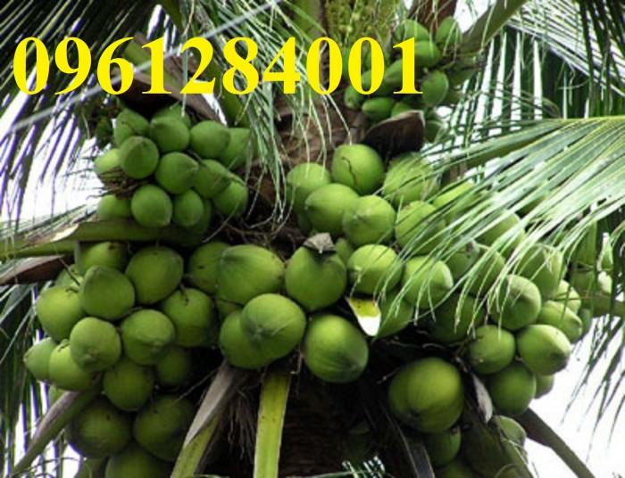 Cung cấp giống cây dừa xiêm lùn, dừa xiêm xanh lùn, số lượng lớn, giao hàng toàn quốc6