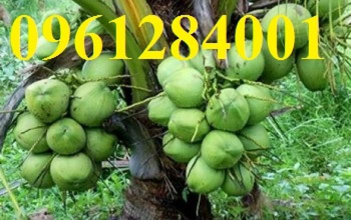 Cung cấp giống cây dừa xiêm lùn, dừa xiêm xanh lùn, số lượng lớn, giao hàng toàn quốc7